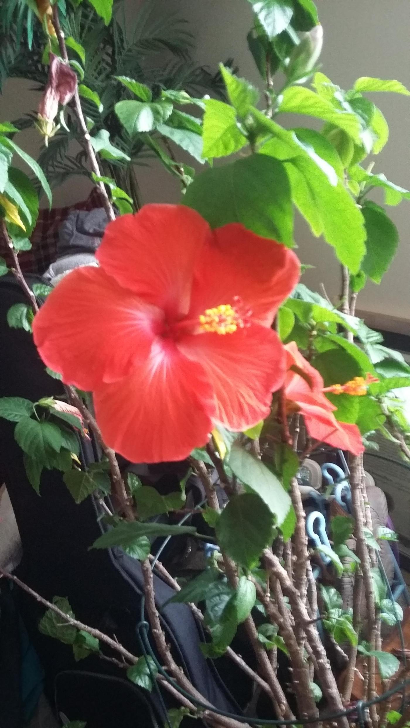 My Sunday morning wakeup surprise – 5 lovely flowers on my hibiscus
